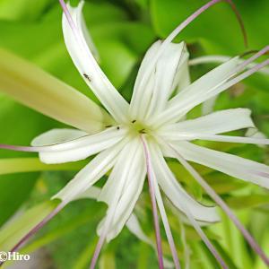 【ハマユウ/浜木綿】南国マーシャル諸島の身近な海浜植物