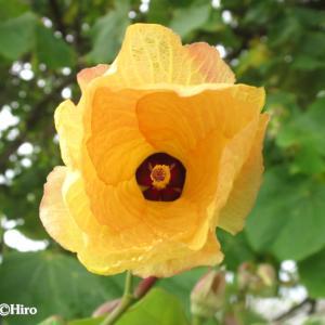 【オオハマボウ/大浜朴】南国マーシャル諸島の大きな木と黄色の花