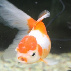 金魚の尾腐れ病の原因や治療方法とは【治ります】