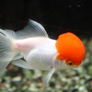 金魚の水カビ病(綿かぶり病)の原因や症状、治療方法とは