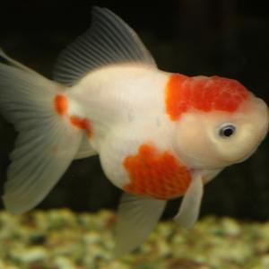 金魚の転覆病とは?原因や治療方法を解説