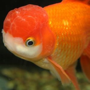 金魚の追星とは?【病気ではありません】