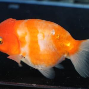 金魚の繁殖、産卵時期や手順、必要物品など【わかりやすく解説】