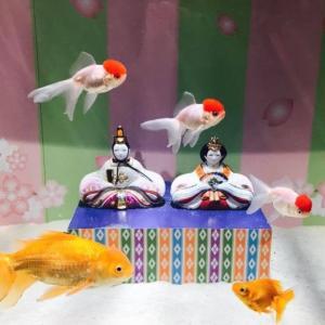 3月3日は金魚の日!その由来を紐解く【イベント&セール情報有】