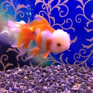 金魚は水温によって餌の調整が必要!失敗しない方法を紹介します