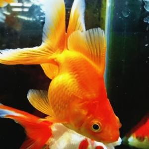 【金魚の餌】沈下性タイプのメリット・デメリットをわかりやすく解説