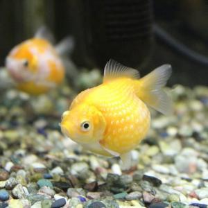 【金魚】ピンポンパールの飼い方、育て方【飼育方法を完全網羅】