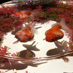 【金魚】ピンポンパールが混泳に向かない理由【デリケートです】