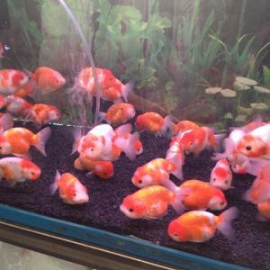 【金魚】桜錦の飼い方育て方【飼育方法を網羅的に解説します】