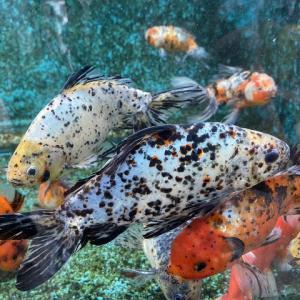 【金魚】朱文金の特徴や種類、大きさ、飼い方を解説【巨大化できます】