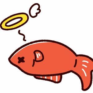 金魚が急死!突然死んでしまうその原因とは?