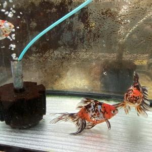 金魚の健康は水つくりにあり!金魚に適した水を作る方法とは