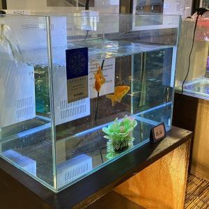 【金魚】冬に屋内で飼育する方法を解説【ヒーターの有無に応じて】