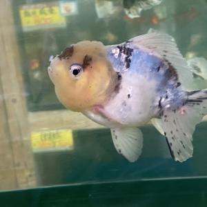 【金魚】冬はヒーターを使用したほうがよい?