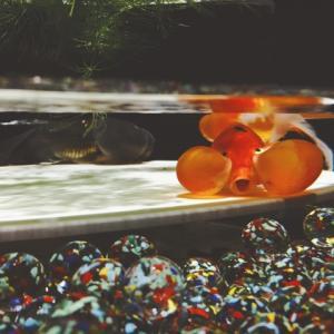 金魚の冬の飼育方法や冬眠について解説【秋の健康状態が重要です】