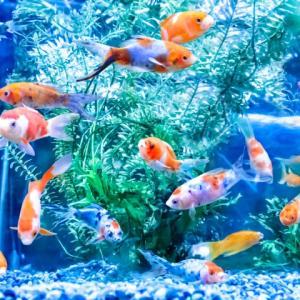【かんたん】金魚マイスターがおすすめする初心者向けの金魚10選