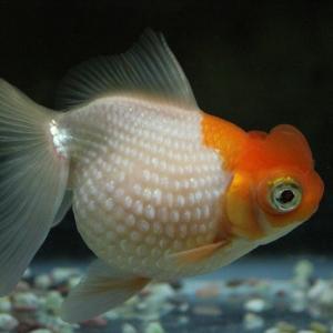【金魚の品種】高頭パールの特徴や飼育方法を解説します