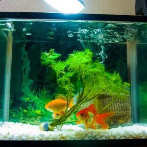 【金魚マイスター直伝】水槽をリセットすべき状況や方法を徹底解説
