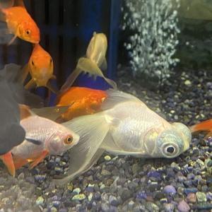 金魚は酸素なしでも飼育できるの?について解説します