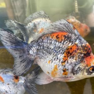 金魚のうろこの病気を総まとめ【早期判断での対応が必須です】