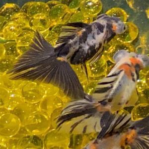 【金魚】蝶尾の寿命はどれぐらい?長生きさせるコツは?