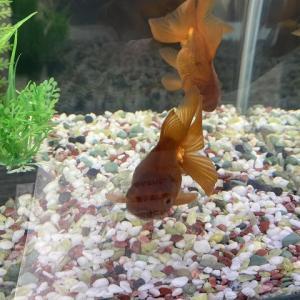 【金魚】茶金の大きさはどれぐらい?最大どれぐらいまで成長する?