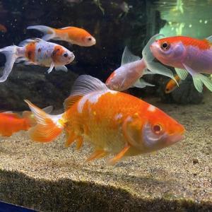 金魚を巨大化させる方法を解説します【弊害に注意してください】
