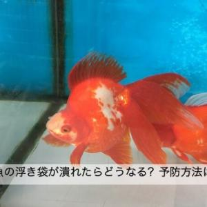 金魚の浮き袋が潰れるとどうなる?原因と対策を解説します
