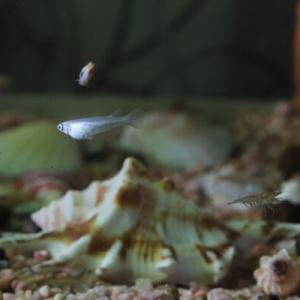 メダカの稚魚の生存率を上げる方法