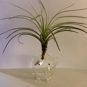 メラノクラテル-緑葉種