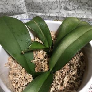 胡蝶蘭-調べ物
