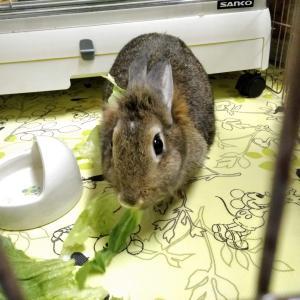 レタスを食べるミニウサギの写真