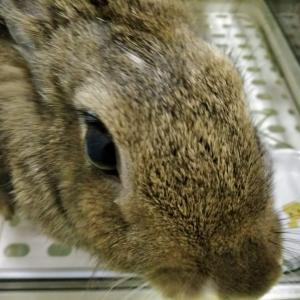 ミニウサギをアップで撮った写真【うさぎの写真】