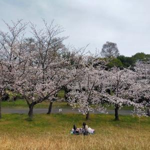 庄内緑地公園の桜が満開です 2020年4月3日(金)