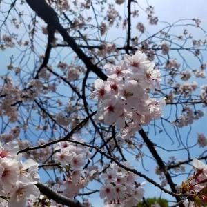 名城公園の桜は満開 2020年4月3日(金)