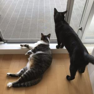 黒猫くるみ&キジ白みえる