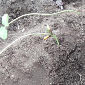 枝豆を育てる