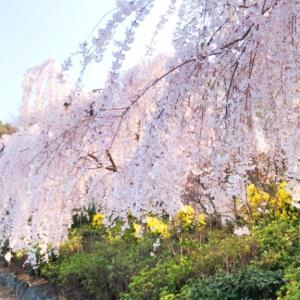 大塚国際美術館観光ついでに花見山心の手紙館の桜!