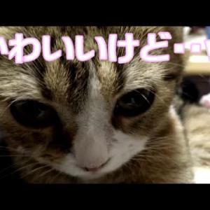 ねこひつじちゃんの被り物で固まるスコティッシュフォールド子猫