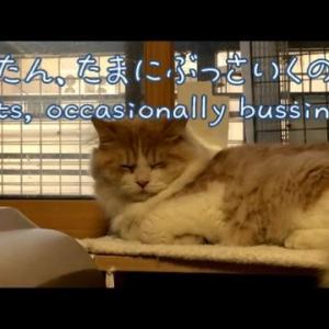 ふてぶてしいスコティッシュフォールド猫|可愛い子猫面白動画