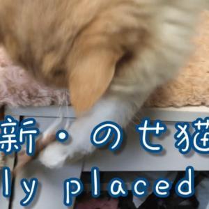 のせ猫スコティッシュフォールド|面白い動画かご猫さんかわいい