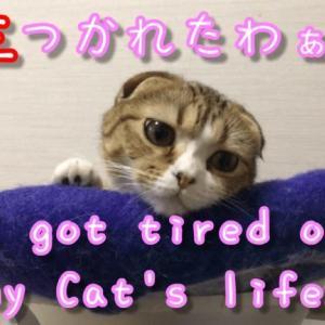 疲れたの?顔のせ|スコティッシュフォールド可愛い子猫面白い動画