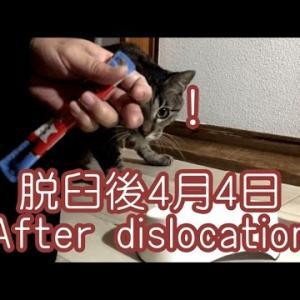 薬の食べさせ方|保護猫キジトラの事故でケガ脱臼後