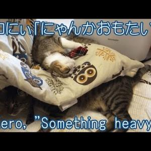 スコティッシュフォールドあい重いw・・かわいい子猫面白い動画
