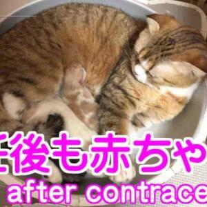 避妊しても赤ちゃん(子猫)が好き|スコティッシュフォールド