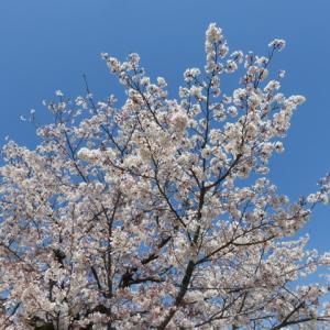 お昼休みのお花見桜🌸(職場でお花見)