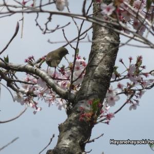 桜にウグイス🌸