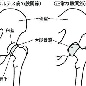 大腿骨頭壊死症(ペルテス病)は足の関節の病気🐕軟骨成分の栄養失調が原因🐶膝蓋骨脱臼と同じ原因👹鶏の手羽先の食事で完治するぞ🐔
