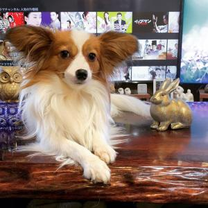 犬の血尿は良くあること💗なのに獣医は尿路結石症と故意に誤診して療法食を売りつける👿白衣の詐欺師の常套手段の詐欺商売👹