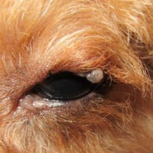 マイボーム腺腫は動物病院には行かずに家庭用目薬で治す🐕目の周縁に出るイボ・もらいもの🐶獣医は手術で治す!麻酔死が怖い👹